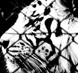 Free Photo - Caged Tiger II