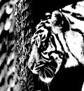 Free Photo - Caged Tiger