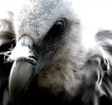 Free Photo - Himalayan Vulture II