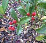 Free Photo - Red berries
