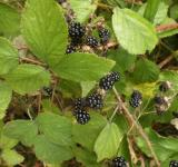 Free Photo - Blackberries