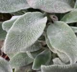 Free Photo - Lambs Ear or Stachys byzantina leaves
