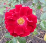 Free Photo - Red Camellia