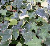 Free Photo - Ivy leaves