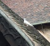 Free Photo - White pigeon on roof