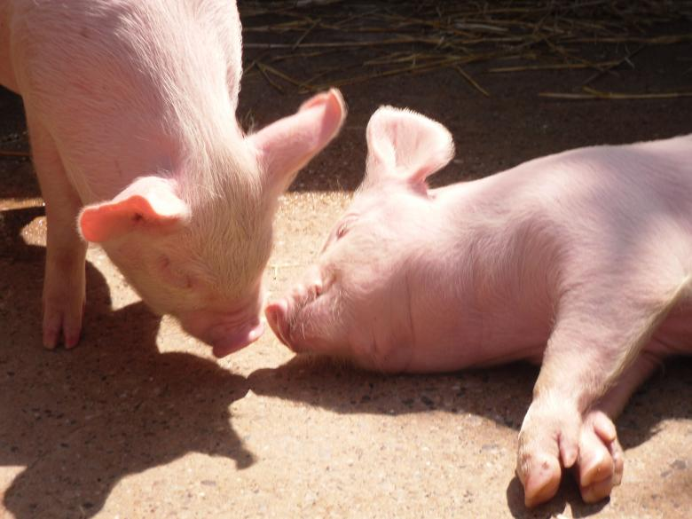 Free Stock Photo of Piglets Created by Mark Gleeson