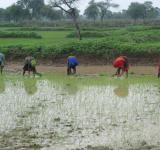 Free Photo - Indian women planting rice plants