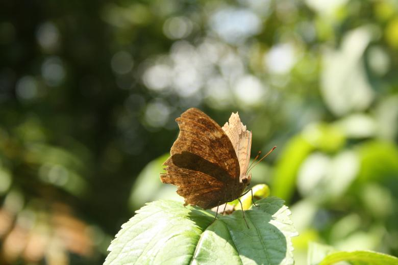 A brown butterfly Free Photo