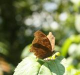 Free Photo - A brown butterfly