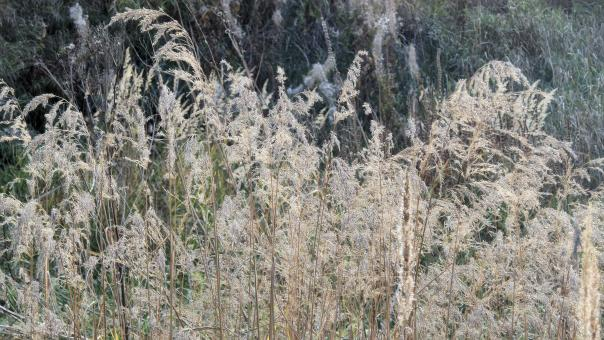 Dried autumn reed - Free Stock Photo