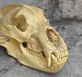 Free Photo - Bear Skull Close-up - HDR