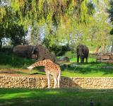 Free Photo - giraffe