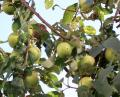 Free Photo - Ripe green apples on a tree