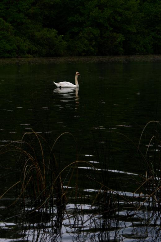 Free Stock Photo of Swan Created by Heather Elaine Kitchen