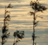 Free Photo - Pine Trees Sunset Silhouette