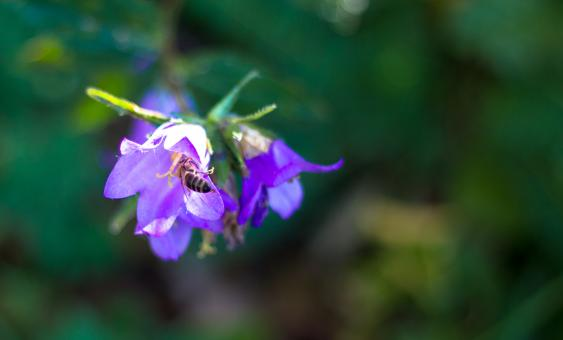 Bee on a flower - Free Stock Photo
