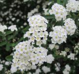 Free Photo - White spring blossoms