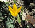 Free Photo - Pretty yellow crocus flower