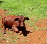 Free Photo - Calf laying in field