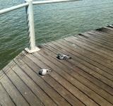 Free Photo - Pigeons on wooden jetty