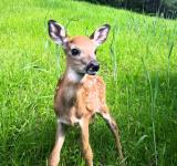 Free Photo - The Fawn