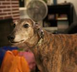 Free Photo - Greyhound rescue