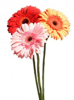 Gerberas on white - Free Stock Photo