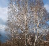 Free Photo - Birches