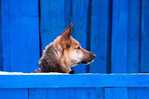 Dog on a blue background - Free Stock Photo