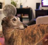 Free Photo - Whiskey the greyhound rescue