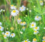 Free Photo - Camomiles