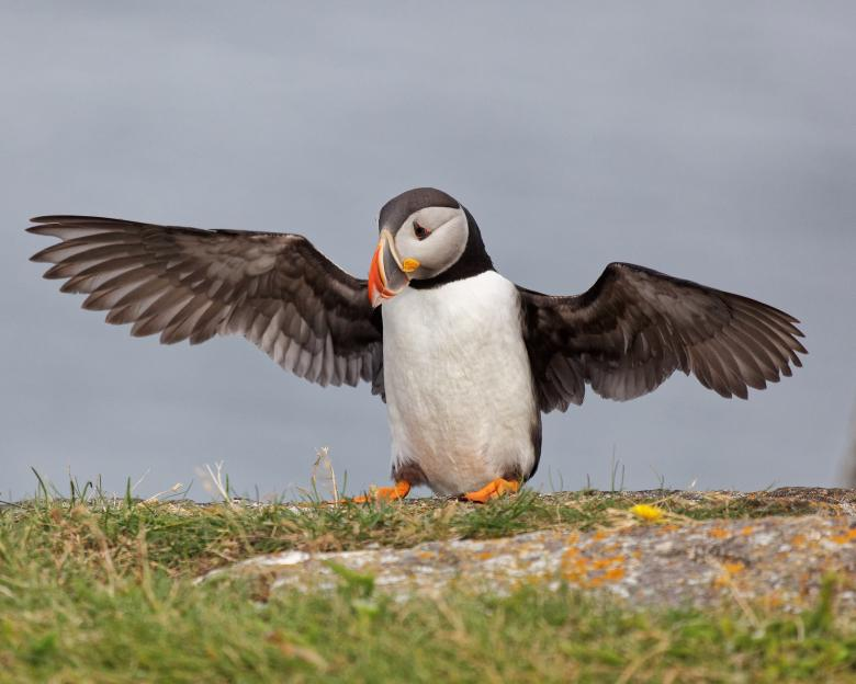 Free stock image of Puffins created by Geoffrey Whiteway