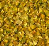 Free Photo - Ginkgo biloba leaves
