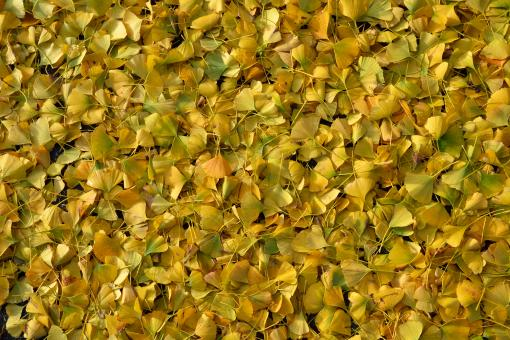 Ginkgo biloba leaves - Free Stock Photo