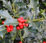 Free Photo - Christmas holly