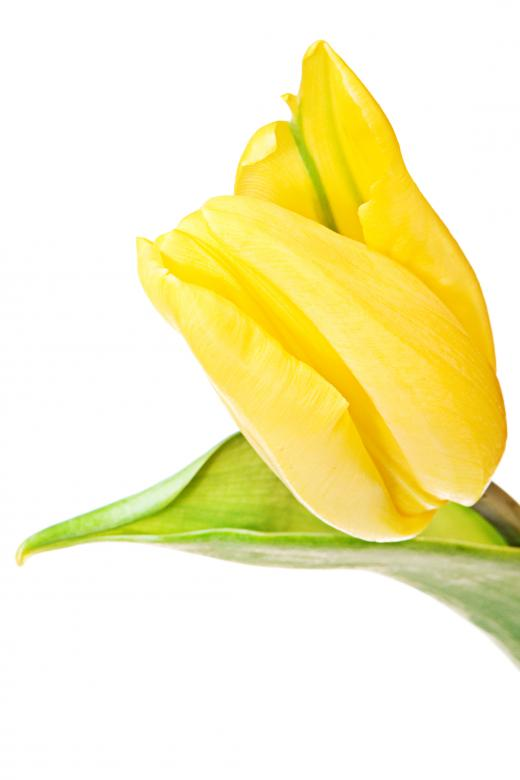 Free Stock Photo of Yellow tulip Created by 2happy