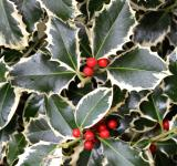 Free Photo - Christmas holly variegated