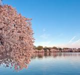 Free Photo - Washington DC Cherry Blossoms - HDR