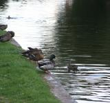 Free Photo - Ducks by the river on a sunny day