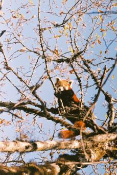 Beautiful Wild Red Panda - Free Stock Photo