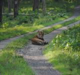 Free Photo - Resting Tiger at Jungle Path