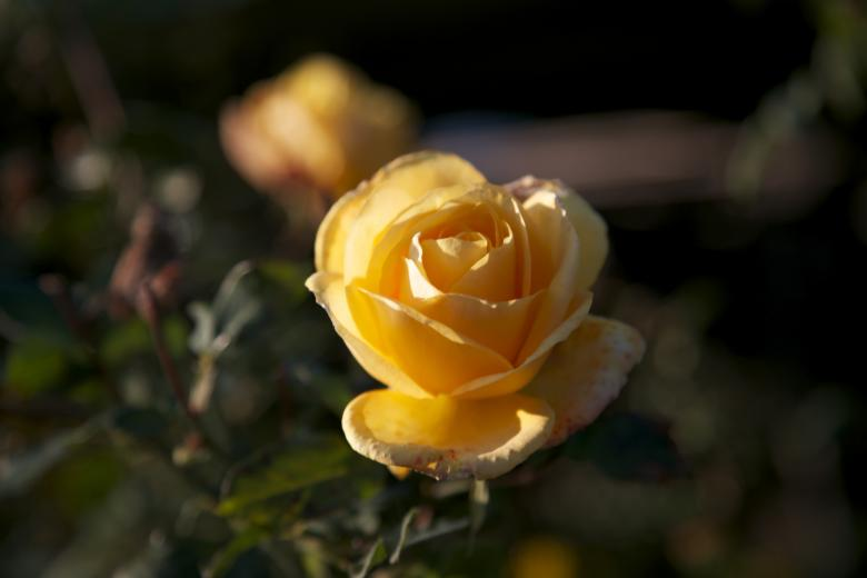 Free Stock Photo of Yellow rose Created by dana richardson