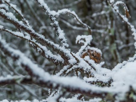 Snowy Forest - Free Stock Photo
