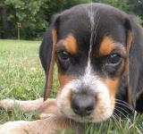 Free Photo - Beagle puppy