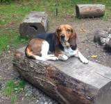 Free Photo - Camp Beagle