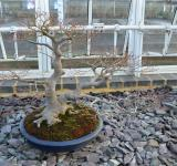 Free Photo - Maple bonsai tree