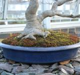 Free Photo - Maple bonsai tree and container