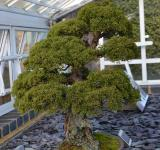 Free Photo - Juniper bonsai tree