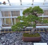 Free Photo - Pine bonsai tree