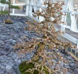 Free Photo - Larch bonsai tree